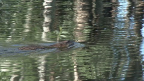 Muskrat Adult Lone Swimming in Summer in South Dakota