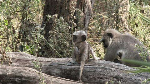 Gray Langur Monkey Young Several Monkeys Running Dry Season Baby in India