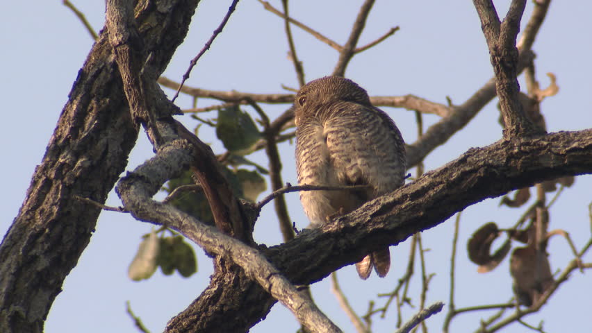 Jungle Owlet Adult Lone Grooming Cleaning in Spring in India