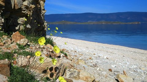 Lake Baikal. Olkhon Island in August. Yellow poppies near the rocks on the sandy shore. Natural sounds of water and the chirr of grasshoppers