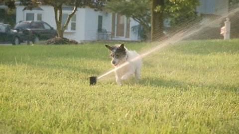 slow motion cute happy jack russell chihuahua puppy dog plays in sprinklers