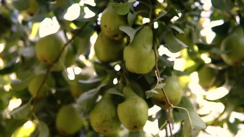Pears in the garden on branche tree.