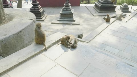 Monkey family in Swayambhunath temple. Kathmandu, Nepal.