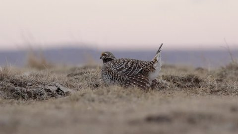 Male Sharp-tail Grouse dancing on the lek while competing for the attention of the females.