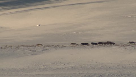 Wolf Adult Immature Pack Several Wolves Walking in Winter Black Gray Color Phase in Wyoming