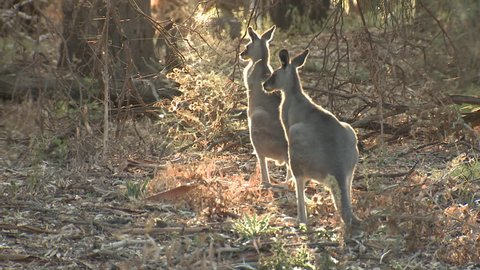 Eastern Grey Kangaroo Adult Immature Pair Jumping Hopping Bouncing Spider Webs in Australia