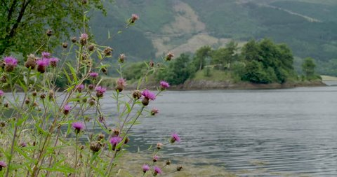 Thistle of Scotland by the loch shore in the highlands
