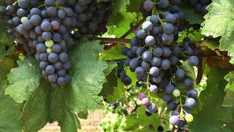 Growing bunches of dark purple vine grape with multicoloured unripe berries in vineyard farm, ants creep on vine trunk, berries with bloom and green grape leaves on bush under sunlight swing in wind