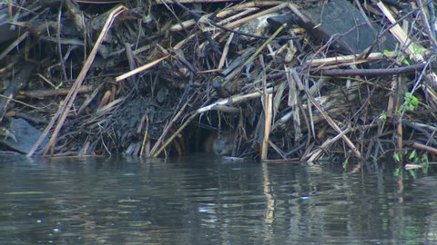 Muskrat Adult Lone Swimming in Spring Lodge in South Dakota