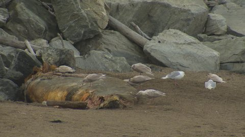 Mew Gull Adult Immature Several Eating in Fall Scavenging Scavenger Dead Shore in Alaska