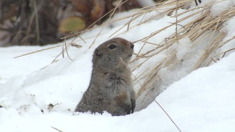 Arctic Ground Squirrel Lone Alarmed Nervous Wary in Fall Alert Snow in Alaska