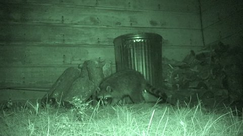 Raccoon Female Adult Lone Foraging in Summer Garbage Can Nuisance Alarmed in South Dakota