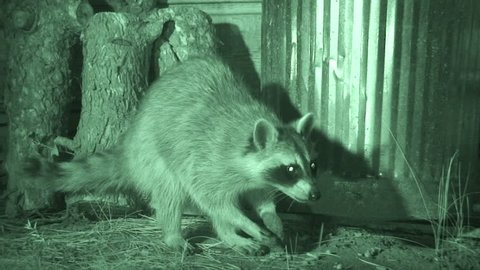 Raccoon Adult Lone Eating in Summer in South Dakota