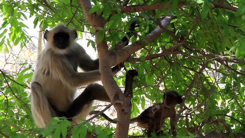 Hanuman langur (Presbytis entellus) monkey in a tree, a female with a cub. The cub is suspended on the mother's chest during descent to the ground, leaf-eating monkey is the sacred animal