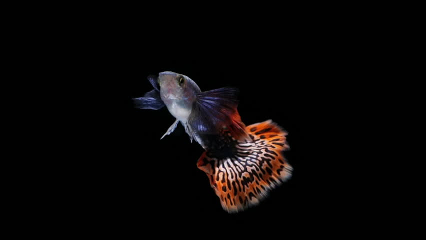 slow motion fish guppy pet isolated on black background