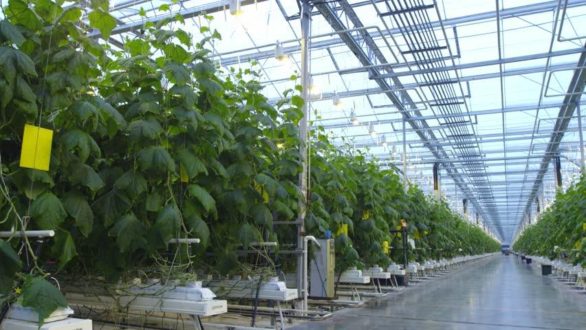 Cucumber in a greenhouse | Shutterstock HD Video #1015083409