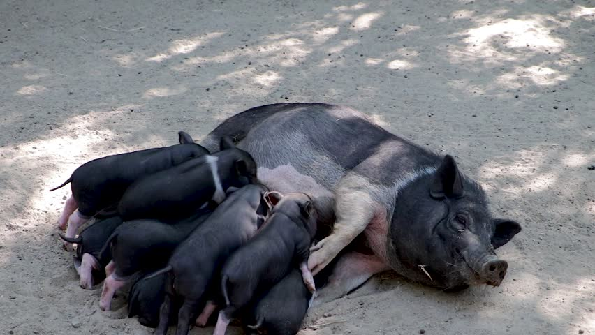 Pigs cute newborn lying on the ground. Concept of biological, animal health, friendship, love of nature. Respect for nature. Mom pig is feeding small pigs. Concept of caring for children. Black pig | Shutterstock HD Video #1015103389
