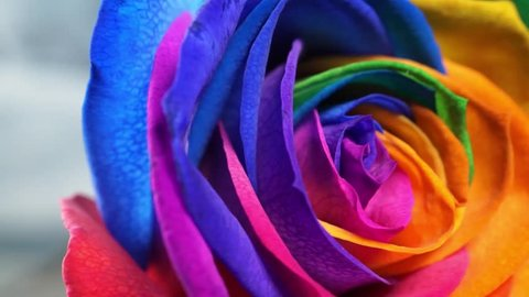 The rainbow rose is a rose that has had its petals artificially coloured. The method exploits the rose's natural processes by which water is drawn up the stem.