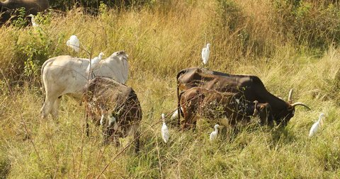 Cows at rural area