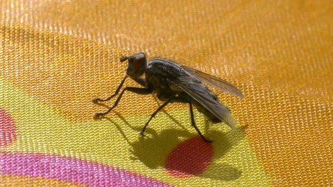 Housefly moving and flying away in 4k slow motion