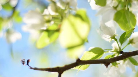 Blooming pear tree branch with lens flare on blue sky background. Beautiful spring nature scene with flowering pear tree in sunny day. Shallow dof. Slow motion hd footage. 1920x1080