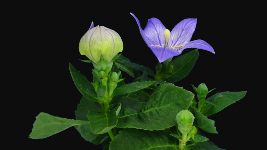 Time-lapse of opening blue Campanula flower 1c1 in PNG+ format with ALPHA transparency channel isolated on black background