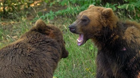 Kamchatka brown bear (Ursus arctos beringianus) fighting