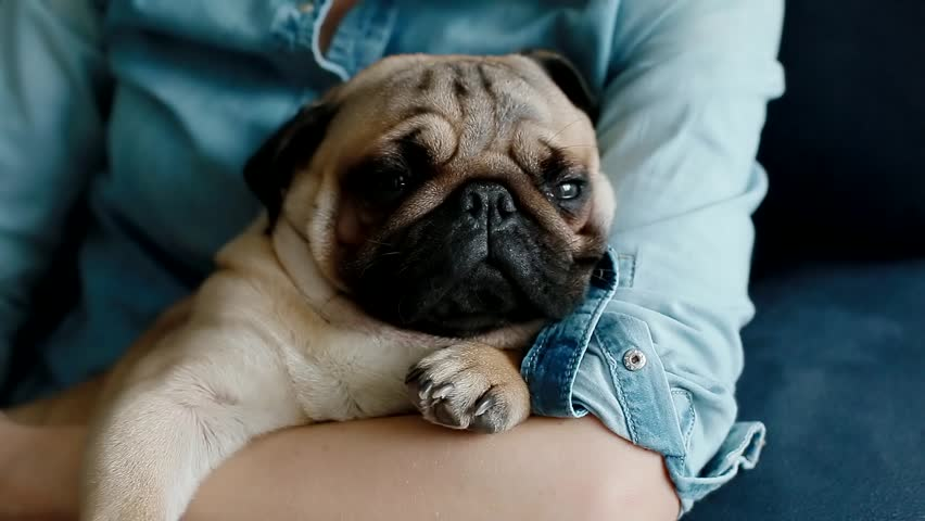 Resultado de imagen para pug sleeping owner