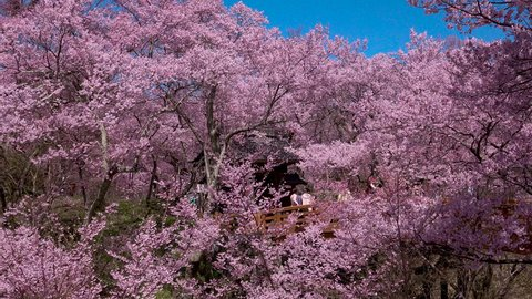 Cherry Blossoms at Takato Castle Ruins Park.in Ina City of Nagano Prefecture,Japan. One of the three best locations to see cherry blossoms in Japan,