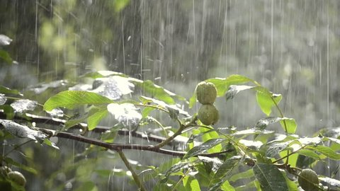 Heavy rain shower downpour cloudburst rainfall comes in daytime. Rain drops dripping on big green leaves and fetus of the tree Walnut close-up. Background concept rainy driving pouring rain with sound