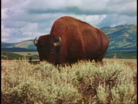 YELLOWSTONE NATIONAL PARK, WYOMING, 1978, Buffalo walking through meadow