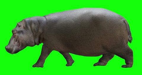 Hippo (hippopotamus) walking. Isolated and cyclic animation. Green Screen.