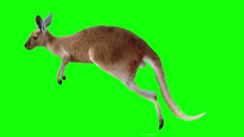 Isolated kangaroo cyclical running. Can be used as a silhouette. Green Screen.