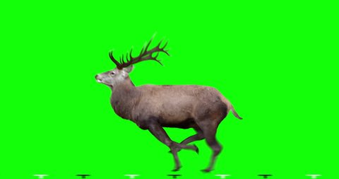 Red Deer runs gallop. Two variations: with horns (male) and without horns (female). Isolated cyclic animation. Can also use as a silhouette. Green Screen.