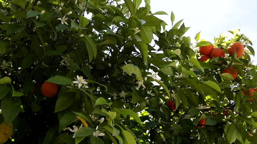 Flowering and fruiting of the same orange tree - remontant are characterized by flowering throughout the year. Asia Minor, April
