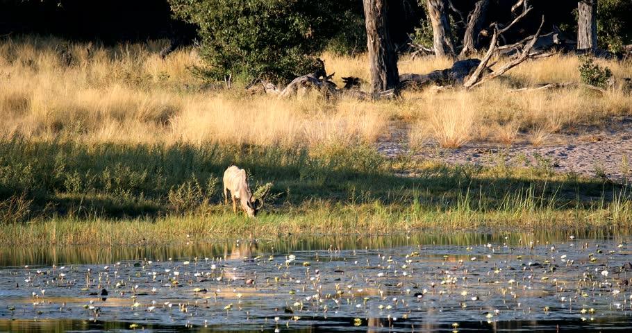 Drinking male of Kudu antelope, Bwabwata namibia Africa