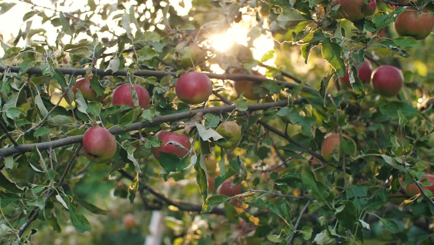 Apples on a tree at sunset