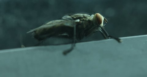 Macro shot of the Fly