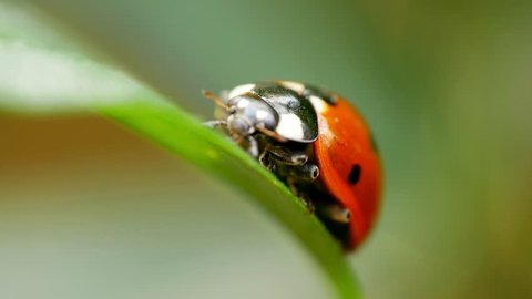Seven-spot ladybug (ladybird) sitting on a leaf and doing its thing in a macro shot
