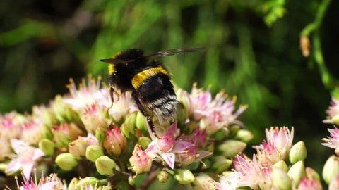 Macro summer bumblebee Bombus lucorum on pink flowers