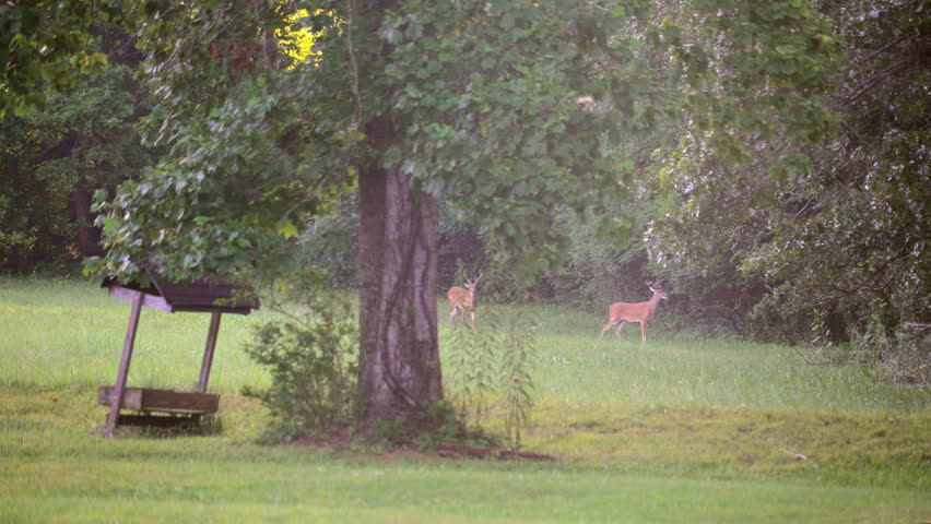 Two male white tailed deer, or buck, with velvet covered antlers grazes off the branch of an oak tree.