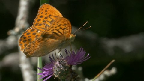 Butterfly male Silver washed fritillary (Argynnis paphia) nectaring on a Centaurea nigrescens (Tyrol knapweed, short-fringed knapweed or Tyrol thistle) flower and flying away.