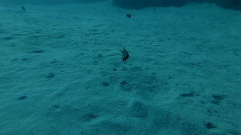 Lyretail Hogfish Bodianus anthioides blurs the sand with a stream of water in search of food Red sea, Marsa Alam, Abu Dabab, Egypt (Underwater shot, 4K / 60fps)