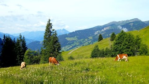 Small herd of cows graze in the Alpine meadow in Switzerland