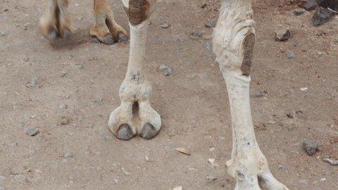 Camel legs walking on barren sandy path. Close up.
