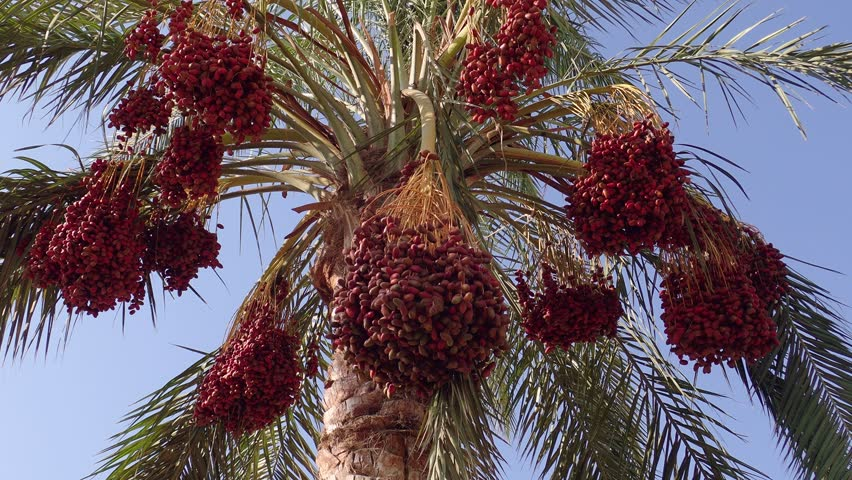 Ripe red fruits dates swaying to the wind on date palm on the blue sky background