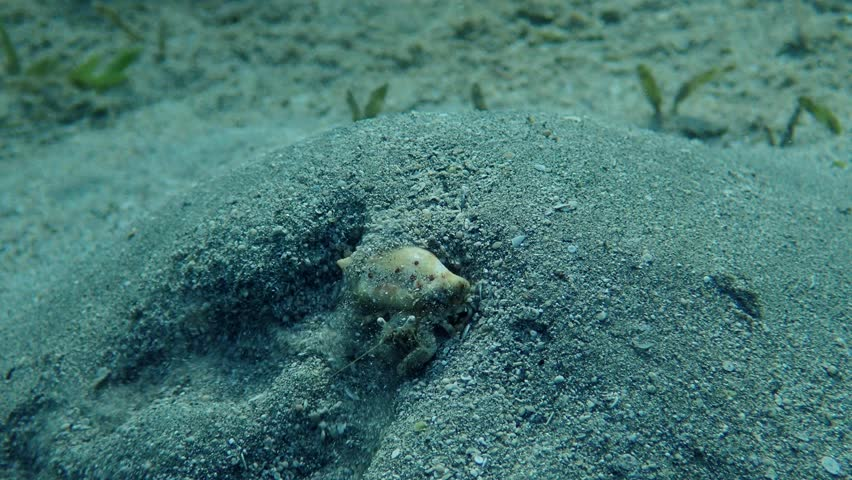 hermit crab sits on a sand hill. Red sea, Marsa Alam, Marsa Mubarak, Egypt (Underwater shot)