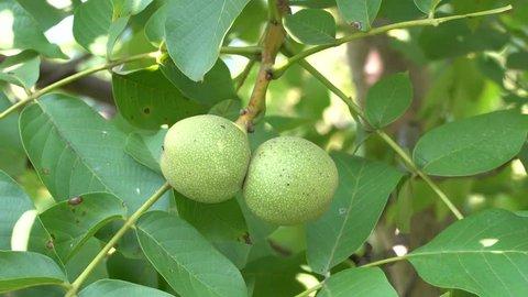 Walnut in the peel on branch. Green walnuts on the tree branch in garden. Walnuts on the branch. Nuts on the tree. Unripe walnuts