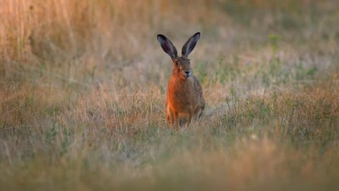 European hare (Lepus europaeus) in early morning