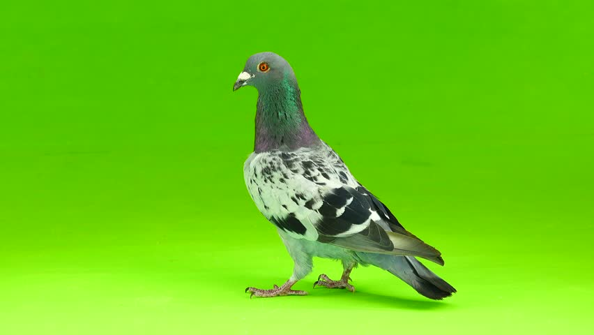 gray shtihel dove isolated on green background #1016065249